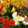 North Carolina's Chrysanthemum Show