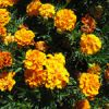 Flower of the Day: Marigold