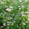 Flower of the Day: Field Daisies