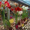 Flower of the Day: Amaryllis