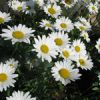 Flower of the Day: Daisies