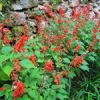 Flower of the Day: Salvia splendens