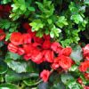 Flower of the Day: Begonia