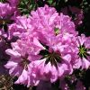 Flower of the Day: Azalea