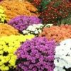National Chrysanthemum Show