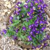 Flower of the Day: Viola