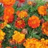Flower of the Day: Marigolds