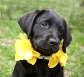 massachusetts_nantucket_daffodil