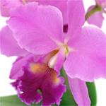 pennsylvania_longwood_orchid