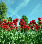 switzerland_morges_tulips