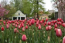 iowa_pella_tulips