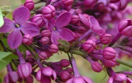 The Best Lilac Festivals