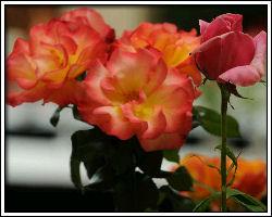 """City of Roses"" Celebrates"