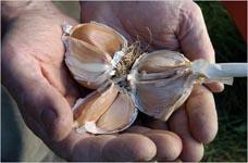 Garlic Festival at Olde Mystick