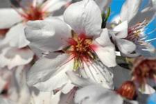 tree_almond_blossom