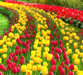 canada_pei_upick-tulips