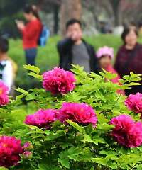 Flower Tourism is Thriving in China