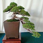 california_santa-ana_bonsai