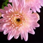 chrysanthemum-pink