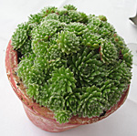 Flower of the Day: Succulent